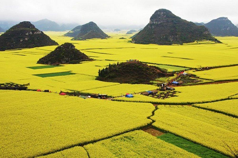 canola-china1
