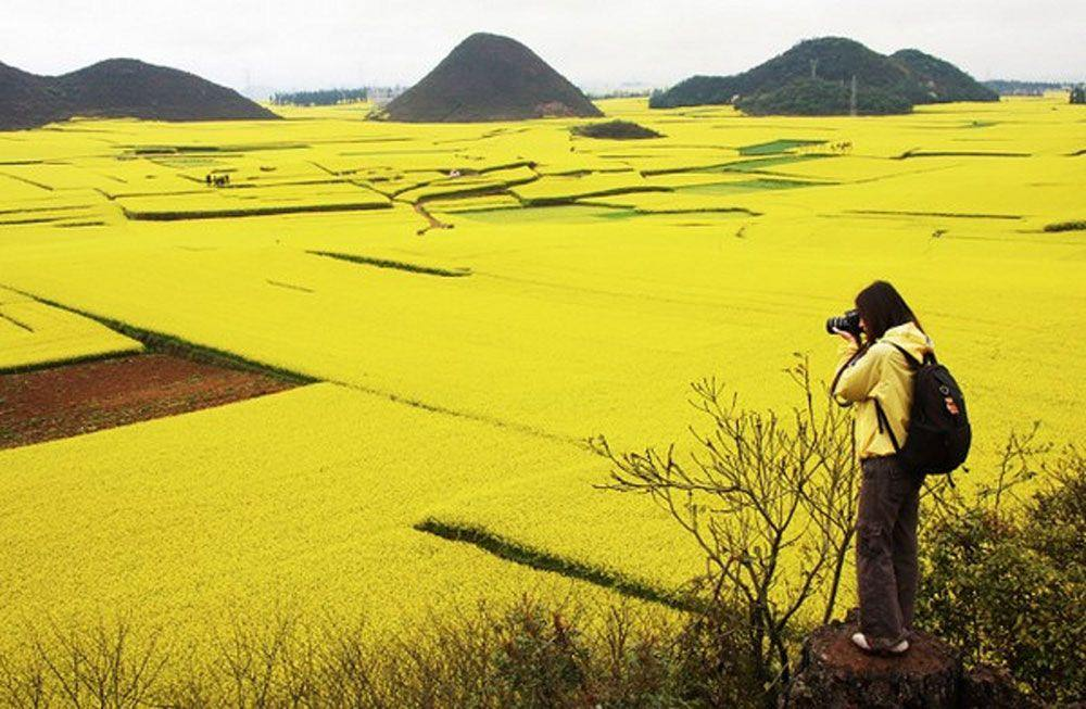 canola-china-2