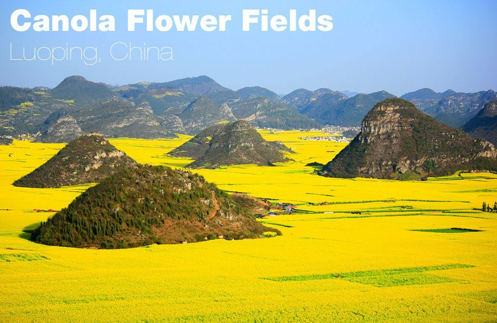 canola-china-4