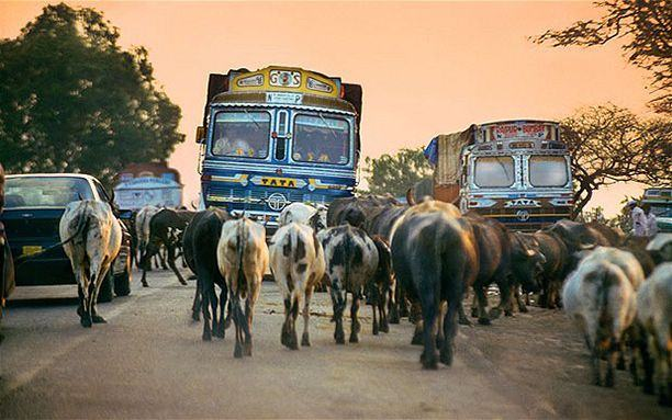 india-cow-on-road