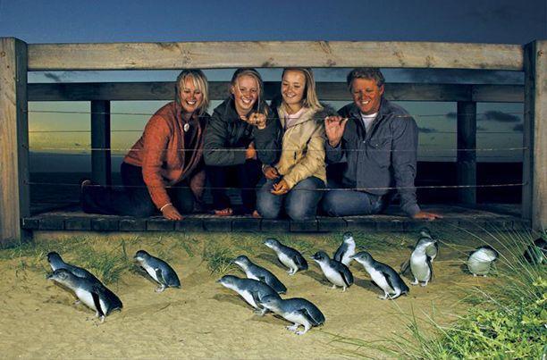 Little Blue Penguins at Phillip Island
