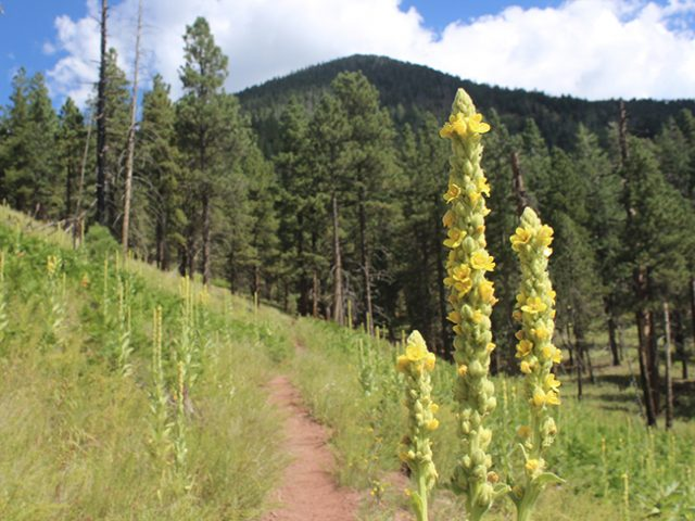 Hikes in Flagstaff Kendrick Mountain Trail