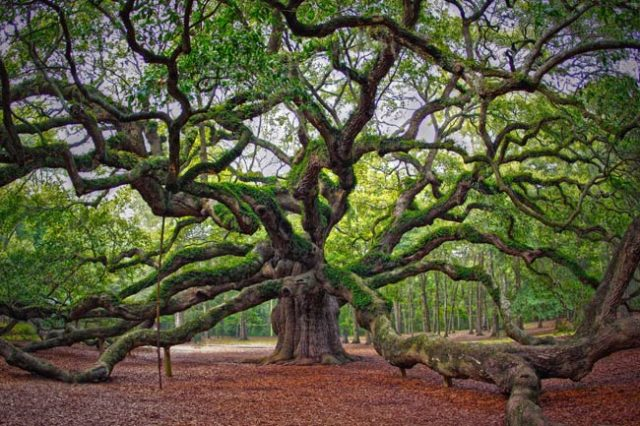 Free Things in Charleston SC Angel Oak Tree