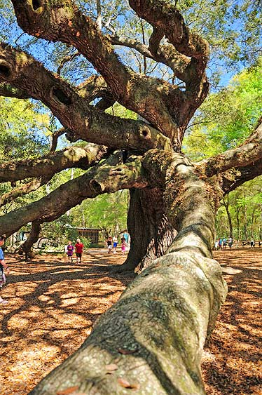Free Things to do in Charleston Angel Oak Tree